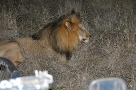 Réveil brutal pour le lion