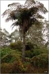 Fougère arborescente, typique de l'île.