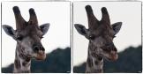 giraffes_oiseau