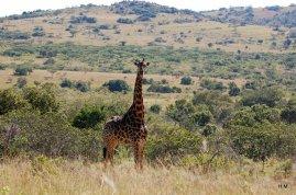 Girafe curieuse...