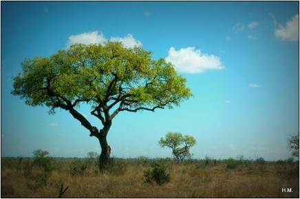 Un arbre sentinelle, typique du bush local