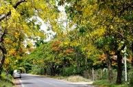Cytises et flamboyants le long de la route