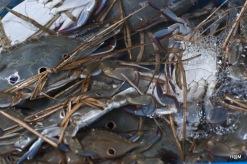 Crabes à Chaung Chau