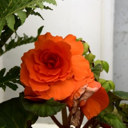 Le goût british des belles roses...
